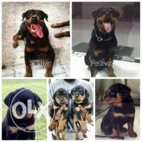 Rottweilers puppies