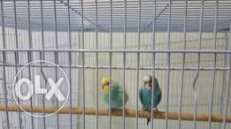 2 love birds for sale with cage and food