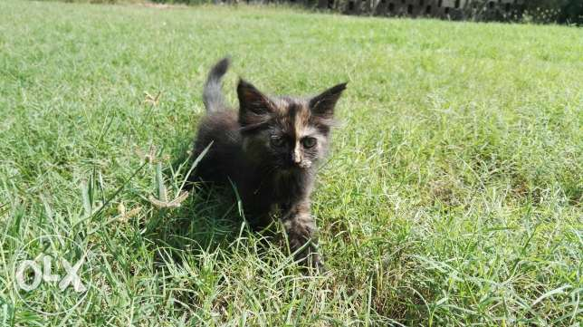 Turkish Cat female kitten مسقط -  2