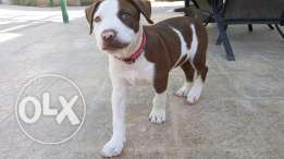 American Pit bull Male Puppy for Sale