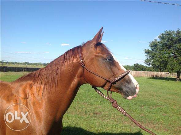 arabian gelding for sale مسقط -  2