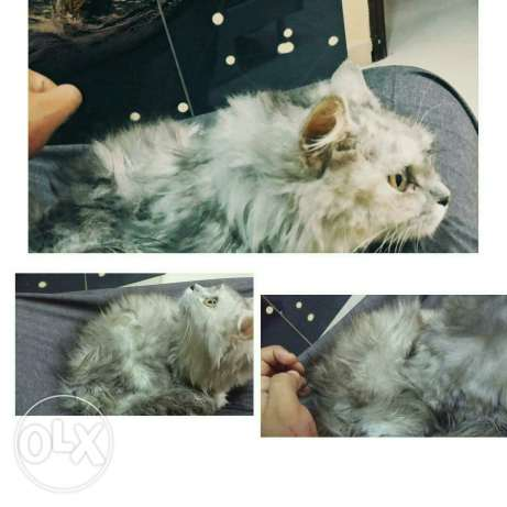 Cat for sell السيب -  1