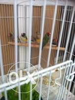 1pair gouldian and 1 pair zebra finch with 5 chicks and 1 big cages.