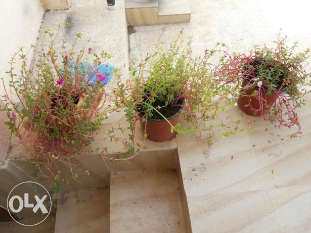 Large collections of different plants 1 to 15 rials السيب -  4