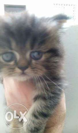 2 Month old Female Persian Kitten