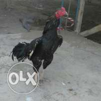 High quality aseel rooster