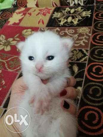 cat for sale female kitty