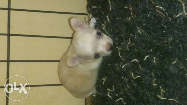 Chihuahua puppy (open for reservation) مسقط -  1