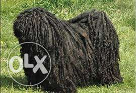 "Hungarian PULI ""Mop Dog"" for sale مسقط -  4"