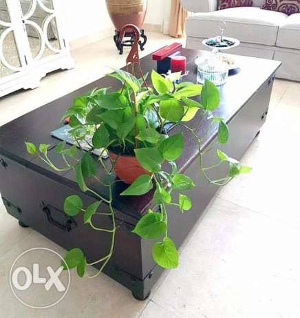 fresh real money plant for sale