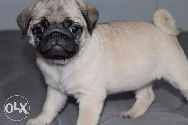 Adorable pug puppies male and female for new homes