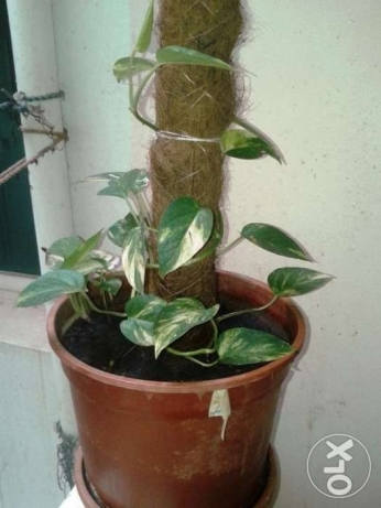 Money Plant for Sale in Qurum مسقط -  1