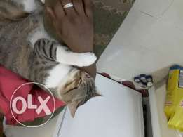turkish cat for free