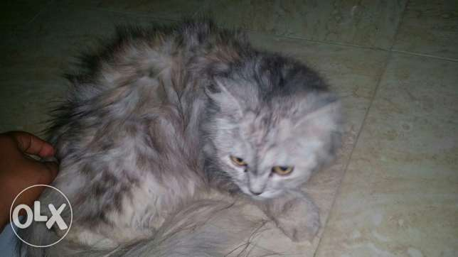 Cat for sell السيب -  2