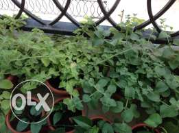 Very Fresh and Healthy with good smell Oregano Plants for Sale