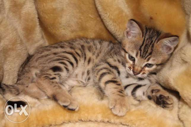 12 weeks old Stunning Tica Reg Bengal for rehoming