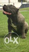 Top quality American bully for sale