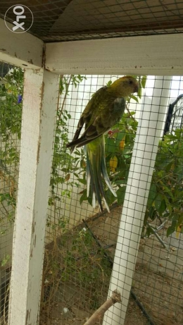 Elegant and Healthy Red-rumped parrot Female مسقط -  7
