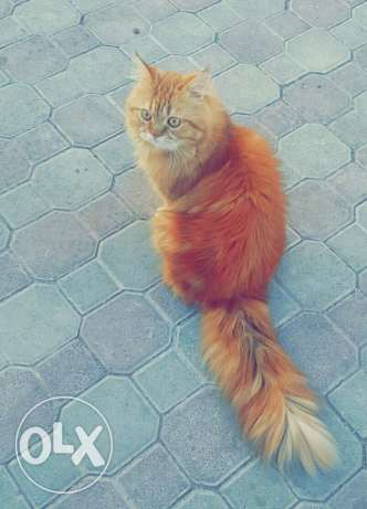 cat for sale 50 O.R