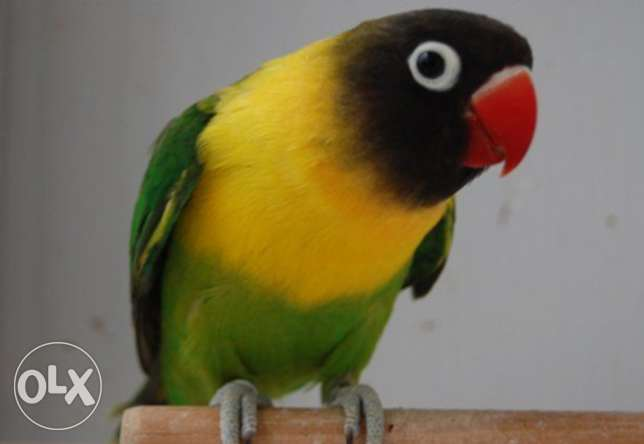 A Male of Black Head / Yellow Chest Fischer For Sale