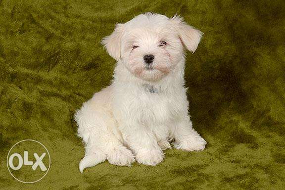 Gorgeous Male and Female Maltese Puppies For Sale