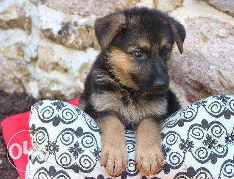 excellent german shepherd babies
