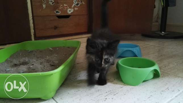 Turkish Cat female kitten مسقط -  3