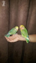 Locally Breeded Domestic Lovebird Chicks Under Training