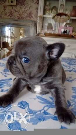 Kc French bulldog blue sable and tan puppies