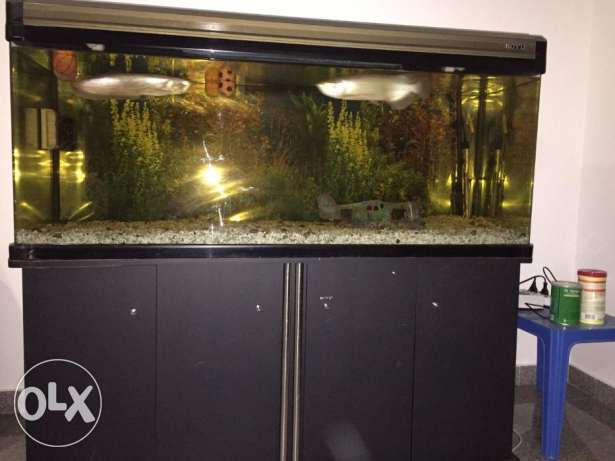 5 feet big fish tank with 2 arwanna fish