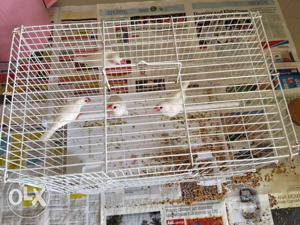 birds - 4 nos with Pizen with 9 kg of food is for sale مسقط -  1