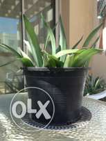 Nice outdoor plant 3 omr