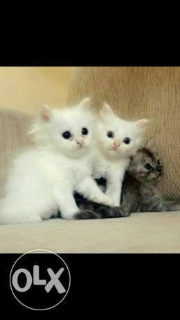 Persian cats for sale مسقط -  1