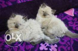 Pure Kittens 2 month for Sale