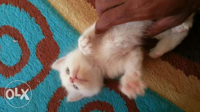 *4 pure white persian kittens