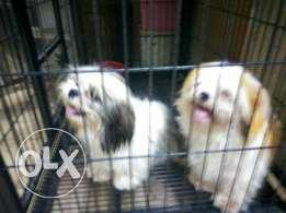 Pair of shih-tzu for sale / exchange with male Labrador pup