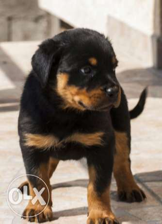 Rottweiler puppy 3month male for sale