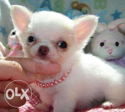 T'cup chihuahua puppies