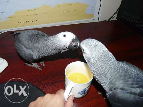 African Grey Parrots and parrot eggs