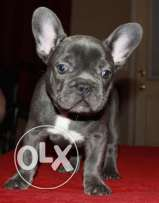 12 weeks old male and female french bull dog puppy