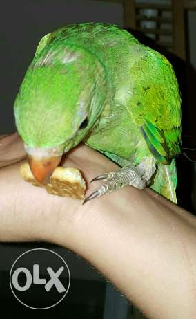 Domestic and Friendly Talking Green Ringneck مسقط -  7