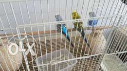 3 love birds for sale urgent tommorrow going to india