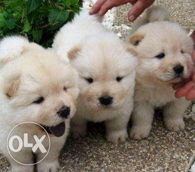 Chow Chow Female and female available