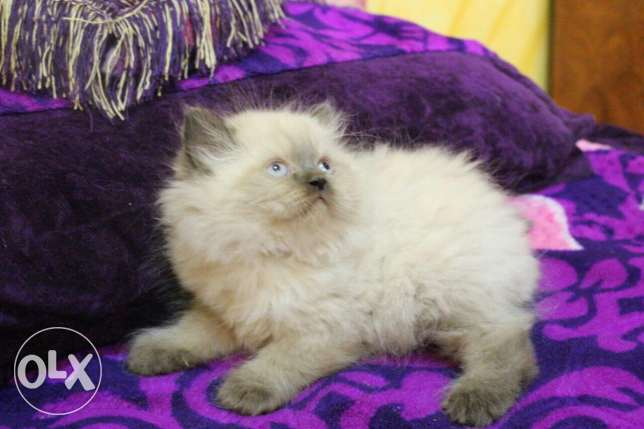 Pure Kittens 2 month for Sale السيب -  8