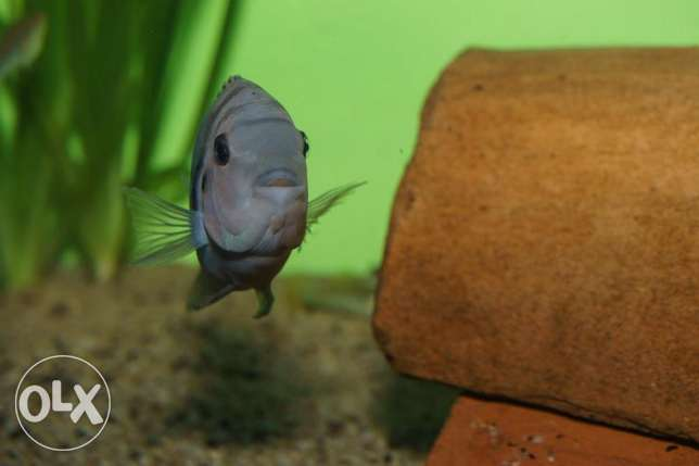 Convict Chilid Fish for Sale