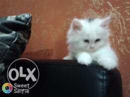 cat for sale 2 month old male and female very cut and funny