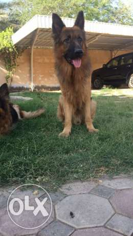 for sale German shepherd male king size full training