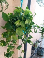 Well grown Money plant in hanging pot 15 rials