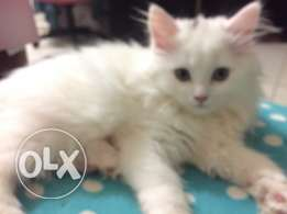 female shirazi cat for sale 70 days old