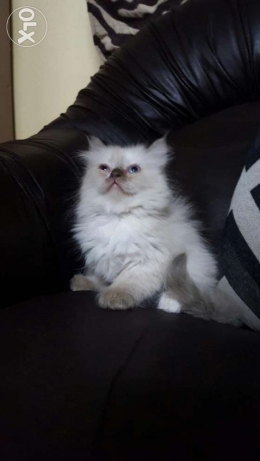 One month and have old white beautiful cats for sale, each for 80rials